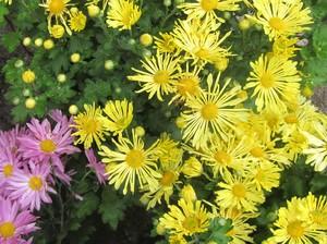 Chrysanthemum Yellow Quill Morifolium  - Chrysanthemum Mammoth -  lg pot